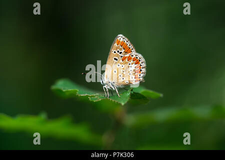 Brown Argus butterfly, Aricia agestis. - Stock Photo