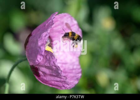 Bombus lucorum. Bumblebee hovering over papaver somniferum poppy in an English country garden - Stock Photo