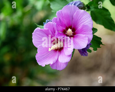 Pink, mauve hibiscus tree in flower, detail - Stock Photo