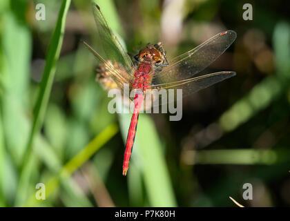 Cherry-faced Meadowhawk - Stock Photo