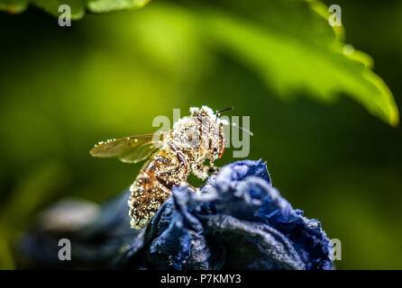 Frankfurt am Main, Germany. 07th July, 2018. A bee covered with hibiscus pollen resting on a wilted flower in the sunshine. Credit: Frank Rumpenhorst/dpa/Alamy Live News - Stock Photo