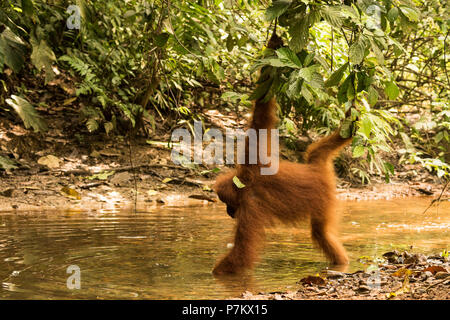 Orangutan looking for food in a creek in the jungle of Indonesia - Stock Photo