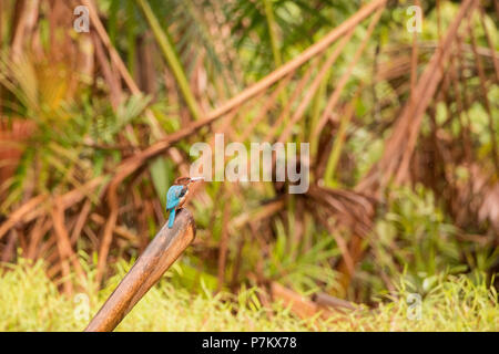White-throated / White-breasted Kingfisher, Halcyon smyrnensis - Stock Photo