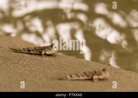 Mudskipper in Indonesia - Stock Photo