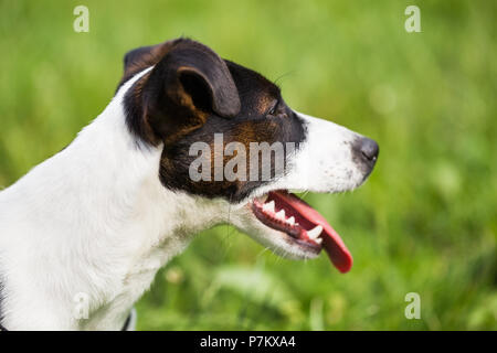 Close up portrait of beautiful dog Jack Russell Terrier in the nature. - Stock Photo