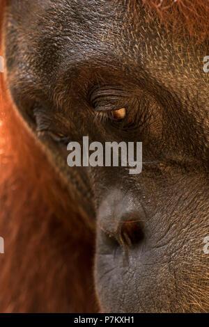 Portrait of an orangutan female in Gunung Leuser National Park - Stock Photo