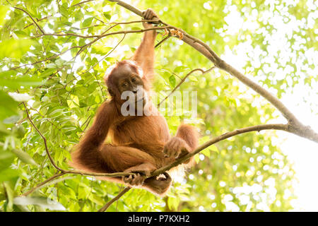 Young orangutan in the jungle, sitting on thin branches and looking relaxed into the camera, - Stock Photo
