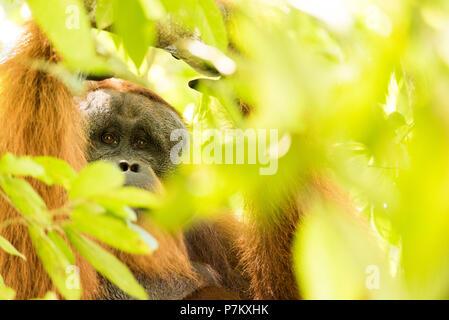 Male orangutan in branches - Stock Photo