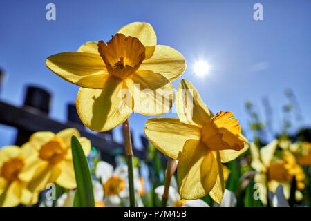 yellow and white daffodils in the cottage garden - Stock Photo
