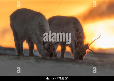 Svalbard reindeer, Rangifer tarandus platyrhynchus, in Spitsbergen, Svalbard, Norway - Stock Photo