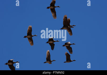The whistling or tree ducks  are a subfamily, Dendrocygninae, of the duck, goose and swan family of birds, Anatidae. Seen here inflight against a blue - Stock Photo