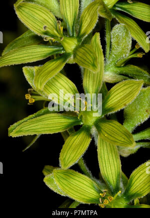 Detail of flowers of White False Hellebore (Veratrum album) - Stock Photo