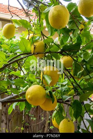 Lemons growing on a lemon tree. - Stock Photo