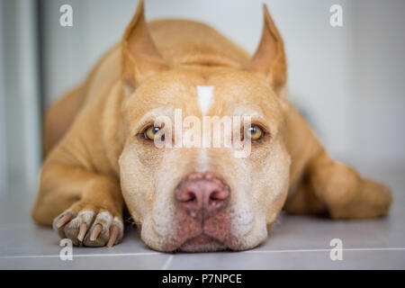 Red nose American pit bull terrier dog laying down looking into camera - Stock Photo
