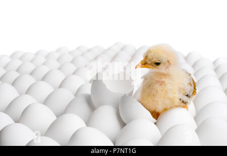 one yellow chicken nestling on many hen's-eggs, on white background,  isolated - Stock Photo
