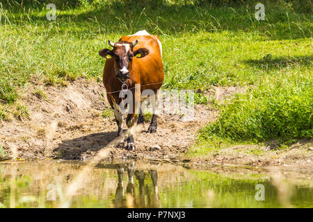 Brown cow standing on the pasture near the watering hole. Mid summer . Milk farm . Podlasie, Poland. - Stock Photo