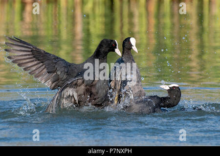 Common coots (Fulica atra) fighting during courtship season for a territory, Lake Constance, Vorarlberg, Austria - Stock Photo