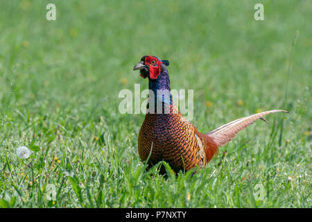 Pheasant (Phasianus colchicus), male standing in a green meadow, Burgenland, Austria - Stock Photo