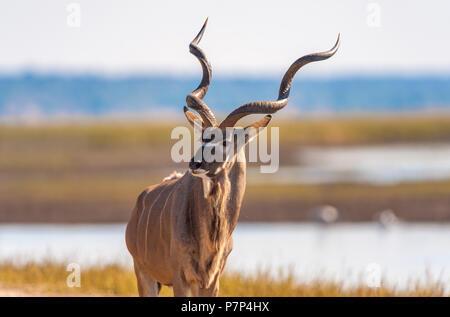 Kudu (Tragelaphus strepsiceros) in Chobe National Park - Stock Photo
