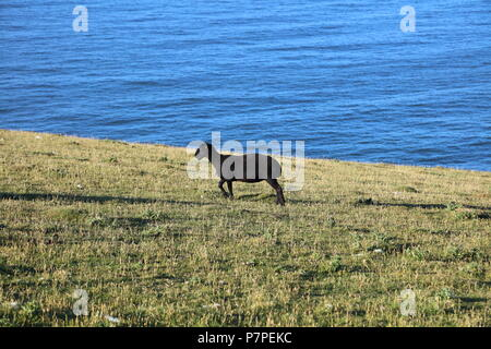 A truly black sheep with very short matty wool and odd whisps of white hairs amid the intense black wool, grazing on the cliff top on the sparce food. - Stock Photo