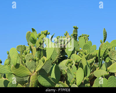 Prickly pear cactus with fruits in front of blue sky with copy space - Stock Photo