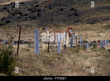 Adult Guanaco jumping fence line between the Torres del Paine National Park and a neighbouring private ranch. - Stock Photo