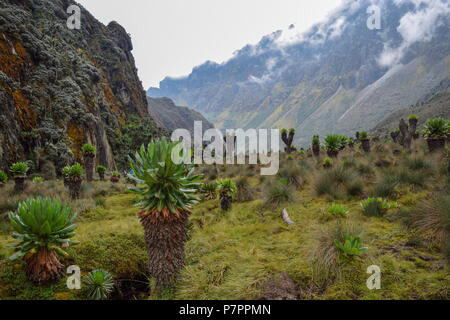 Exploring Bujuku Valley in the Rwenzori Mountains, Uganda - Stock Photo