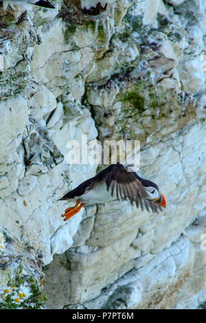 Bempton Cliffs Bridlington  June 2018:  Puffins return to breed and rise their young on the dramatic white cliffs along the East coast.Clifford Norton - Stock Photo