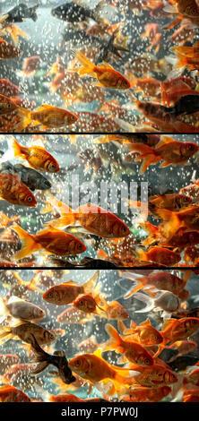 close up shot of goldfish in aquarium - Stock Photo