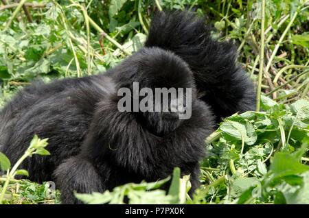 Young Baby Gorilla of the Amahoro Group in the mountains of Volcanoes National Park, Kinigi, Ruhengeri, Rwanda, East Africa - Stock Photo