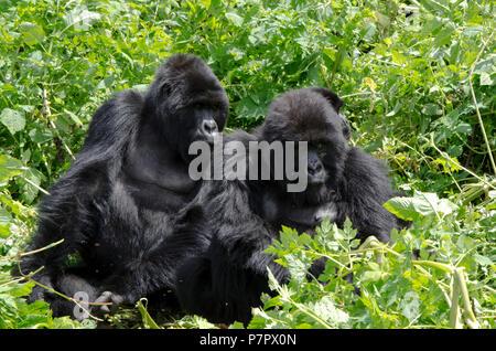 Adult gorilla family, part of the Amahoro Group in the mountains of Volcanoes National Park, Kinigi, Ruhengeri, Rwanda, East Africa - Stock Photo
