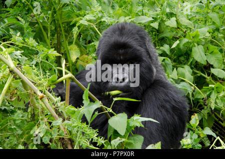 Close up of silverback gorilla eating in the mountains of Volcanoes National Park, Kinigi, Ruhengeri, Rwanda, East Africa - Stock Photo