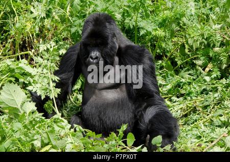 Silverback Gorilla of the Amahoro Group in the mountains of Volcanoes National Park, Kinigi, Ruhengeri, Rwanda, East Africa - Stock Photo