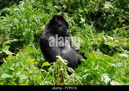 Silverback Mountain Gorilla of the Amahoro Group in the mountains of Volcanoes National Park, Kinigi, Ruhengeri, Rwanda, East Africa - Stock Photo