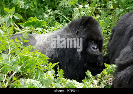 Silverback Gorilla lying down looking at camer. Amahoro Group in the mountains of Volcanoes National Park, Kinigi, Ruhengeri, Rwanda, East Africa - Stock Photo