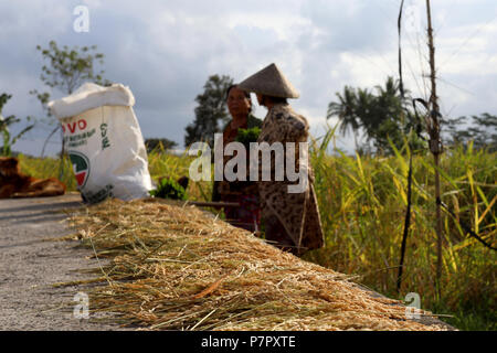 Ubud, Indonesia – June 27 2018: Harvested rice is lined up on a path, while two local women talk in the background - Stock Photo