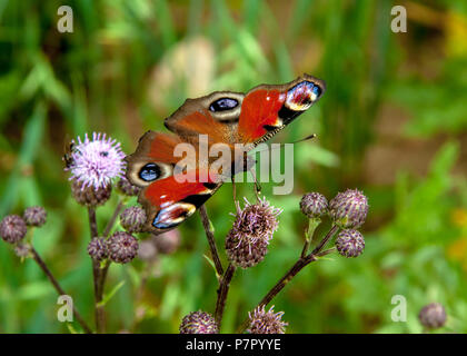 Peacock butterfly, (Inachis io) resting on flower - Stock Photo
