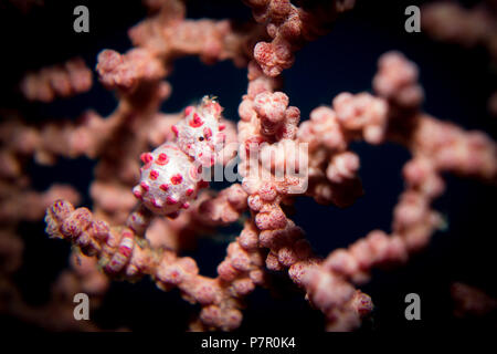 A Pygmy Seahorse - Hippocampus bargibanti - in its host gorgonion sea fan coral. Taken in Komodo National Park, Indonesia. - Stock Photo