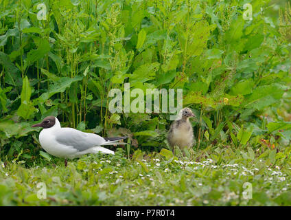 Black-headed Gull - Larus ridibundus  Adult and Chick on breeding grounds - Stock Photo