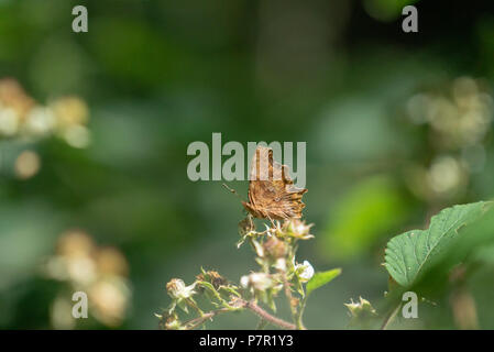 North American butterfly Polygonia Satyrus found in West Woods Wiltshire UK - Stock Photo