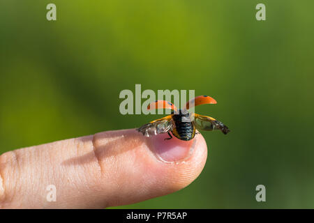 Small ladybug on top of a finger preparing to the fly. Opened wings (elytra) ready for flight. Other names are seven-spot ladybird, Coccinella septemp - Stock Photo