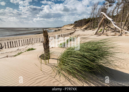 a clump of green bush grows on the dune that gradually buries the coastal forest in the bay of Authie, Berck-plage - Stock Photo