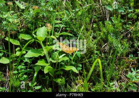 orange butterfly with black dots on grass in summer - Stock Photo