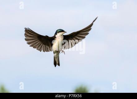 Tree swallow (Tachycineta bicolor) flying, Iowa, USA - Stock Photo