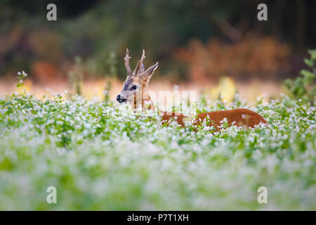 roe deer in a field of flowers - Stock Photo