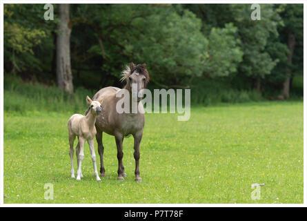 konik mare or Tarpan horse - Stock Photo
