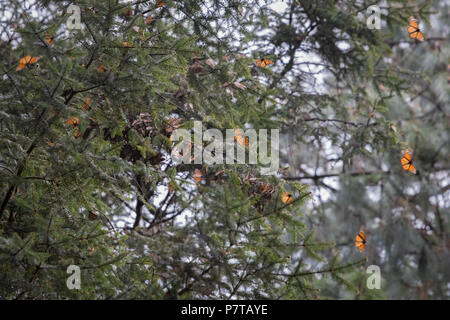 Monarch butterflies in mexican forest - Stock Photo