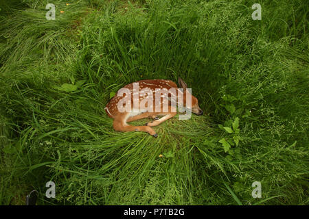 white-tailed deer (Odocoileus virginianus), New York, fawn - Stock Photo