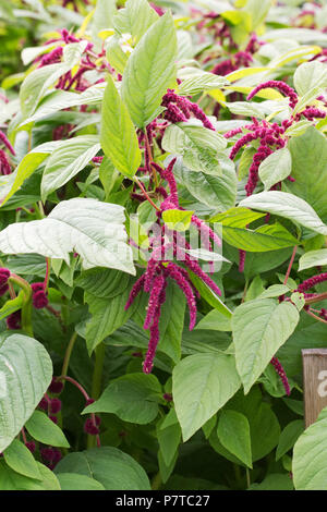 Amaranthus caudatus growing in a flower border. - Stock Photo
