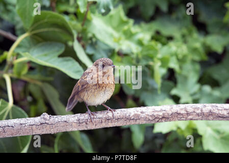 Young Robin, Erithacus rubecula, on branch - Stock Photo